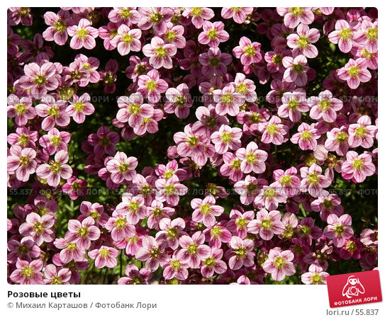 Розовые цветы, эксклюзивное фото № 55837, снято 27 мая 2007 г. (c) Михаил Карташов / Фотобанк Лори