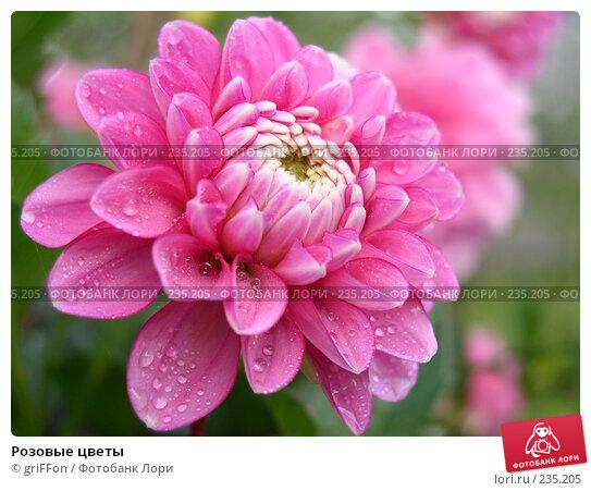 Розовые цветы, фото № 235205, снято 21 октября 2016 г. (c) griFFon / Фотобанк Лори