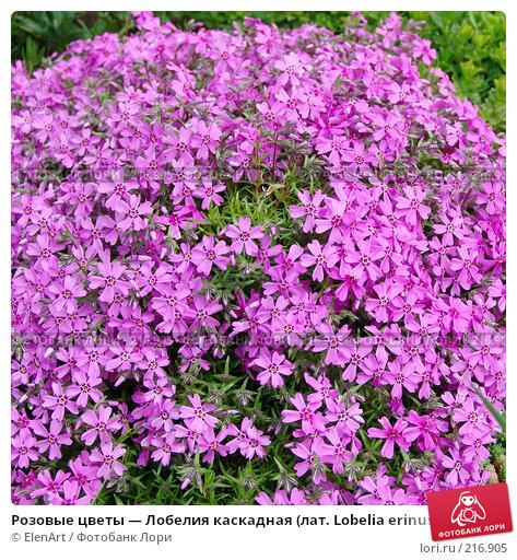 Розовые цветы — Лобелия каскадная (лат. Lobelia erinus), фото № 216905, снято 24 октября 2016 г. (c) ElenArt / Фотобанк Лори