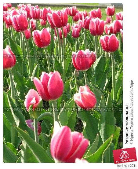Розовые тюльпаны, эксклюзивное фото № 221, снято 7 мая 2004 г. (c) Ирина Терентьева / Фотобанк Лори