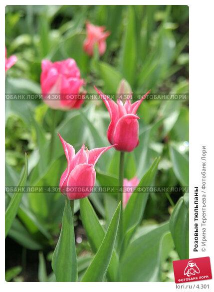 Розовые тюльпаны, эксклюзивное фото № 4301, снято 29 мая 2006 г. (c) Ирина Терентьева / Фотобанк Лори