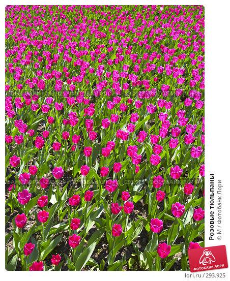 Розовые тюльпаны, фото № 293925, снято 27 марта 2017 г. (c) Михаил / Фотобанк Лори