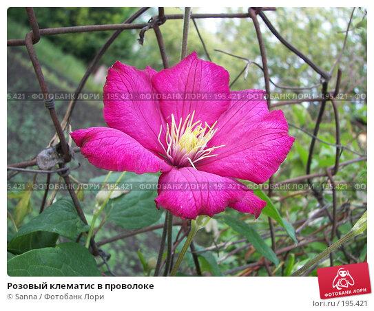 Розовый клематис в проволоке, фото № 195421, снято 30 мая 2007 г. (c) Sanna / Фотобанк Лори