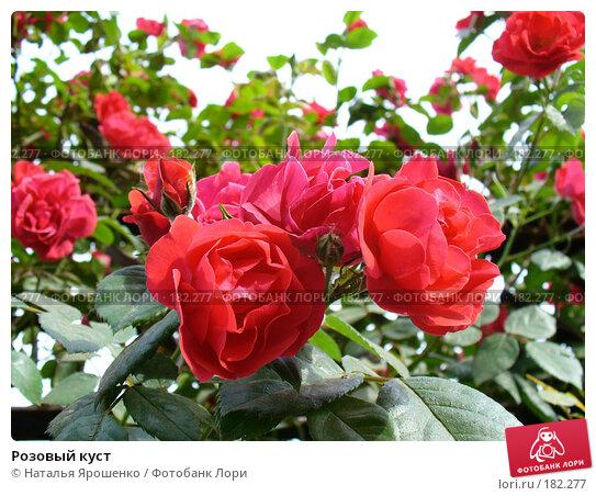 Купить «Розовый куст», фото № 182277, снято 27 мая 2007 г. (c) Наталья Ярошенко / Фотобанк Лори