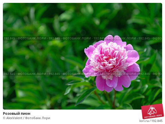 Розовый пион, фото № 192845, снято 6 июня 2007 г. (c) AlexValent / Фотобанк Лори