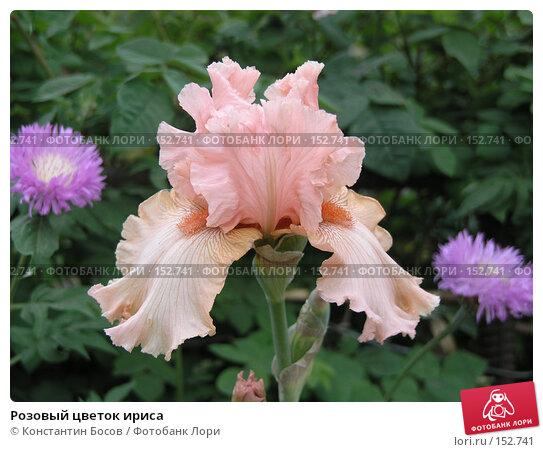 Купить «Розовый цветок ириса», фото № 152741, снято 24 мая 2007 г. (c) Константин Босов / Фотобанк Лори