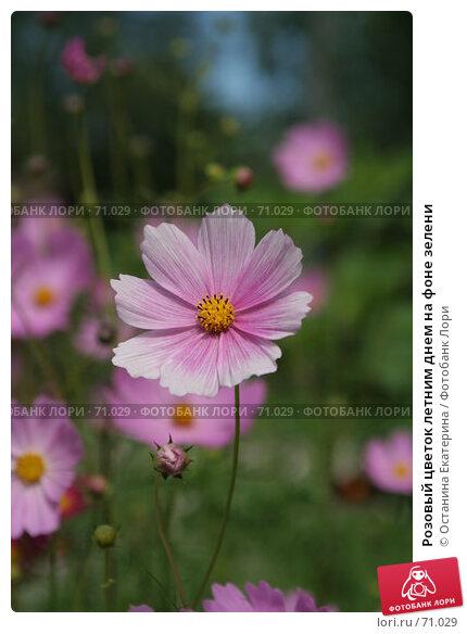 Розовый цветок летним днем на фоне зелени, фото № 71029, снято 10 августа 2007 г. (c) Останина Екатерина / Фотобанк Лори