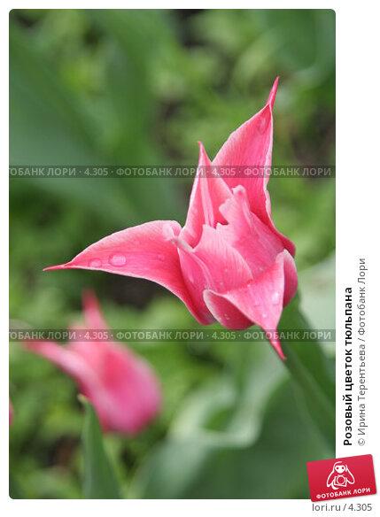 Купить «Розовый цветок тюльпана», эксклюзивное фото № 4305, снято 29 мая 2006 г. (c) Ирина Терентьева / Фотобанк Лори