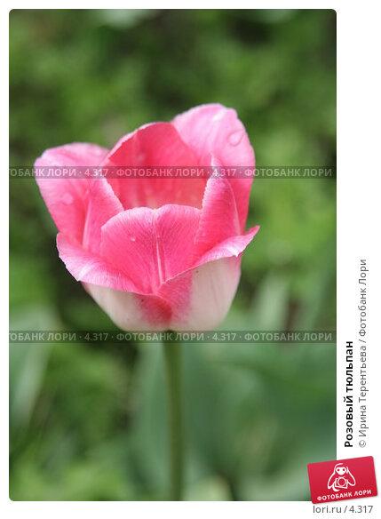 Розовый тюльпан, эксклюзивное фото № 4317, снято 29 мая 2006 г. (c) Ирина Терентьева / Фотобанк Лори