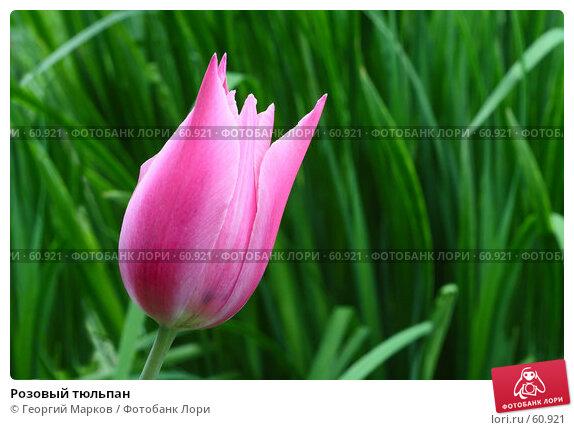 Купить «Розовый тюльпан», фото № 60921, снято 25 мая 2007 г. (c) Георгий Марков / Фотобанк Лори
