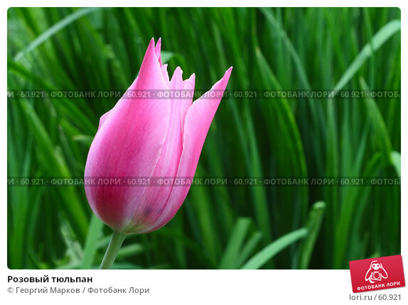 Розовый тюльпан, фото № 60921, снято 25 мая 2007 г. (c) Георгий Марков / Фотобанк Лори