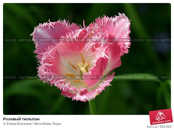 Розовый тюльпан, фото № 163553, снято 19 мая 2007 г. (c) Елена Блохина / Фотобанк Лори