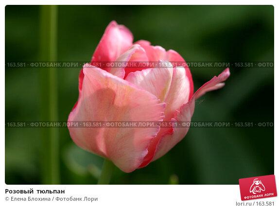 Розовый  тюльпан, фото № 163581, снято 19 мая 2007 г. (c) Елена Блохина / Фотобанк Лори