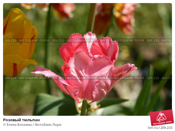 Розовый тюльпан, фото № 209233, снято 21 мая 2007 г. (c) Елена Блохина / Фотобанк Лори