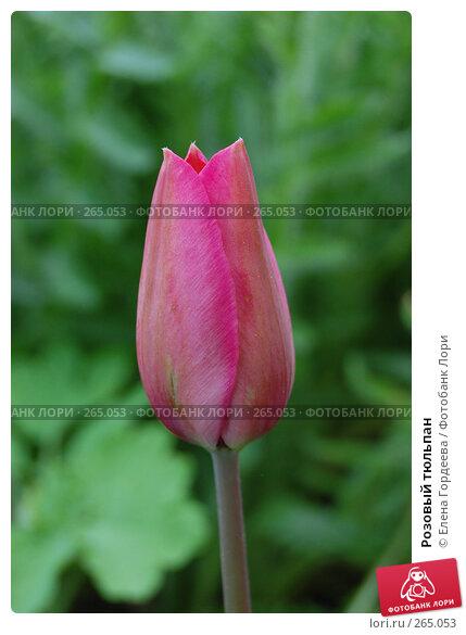 Розовый тюльпан, фото № 265053, снято 27 апреля 2008 г. (c) Елена Гордеева / Фотобанк Лори