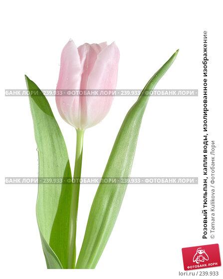 Розовый тюльпан, капли воды, изолированное изображение, фото № 239933, снято 31 марта 2008 г. (c) Tamara Kulikova / Фотобанк Лори