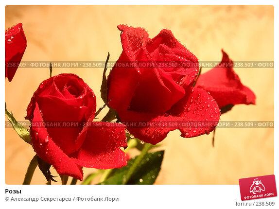 Розы, фото № 238509, снято 22 января 2017 г. (c) Александр Секретарев / Фотобанк Лори