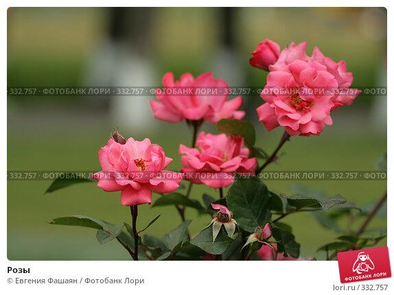 Розы, фото № 332757, снято 24 июня 2008 г. (c) Евгения Фашаян / Фотобанк Лори