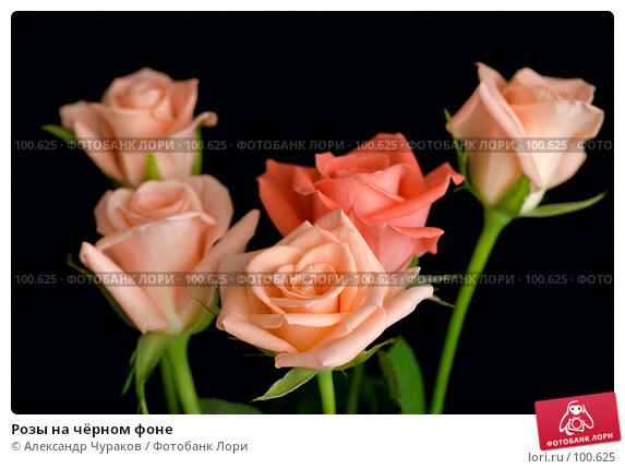 Розы на чёрном фоне, фото № 100625, снято 24 марта 2007 г. (c) Александр Чураков / Фотобанк Лори