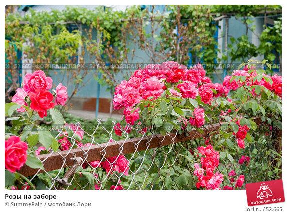 Розы на заборе, фото № 52665, снято 29 апреля 2017 г. (c) SummeRain / Фотобанк Лори