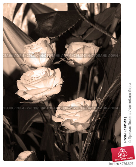 Розы (сепия), фото № 276397, снято 8 августа 2007 г. (c) Примак Полина / Фотобанк Лори