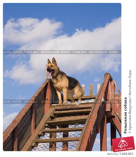 Купить «Розыскная собака», фото № 1604861, снято 4 марта 2010 г. (c) Кристина Викулова / Фотобанк Лори