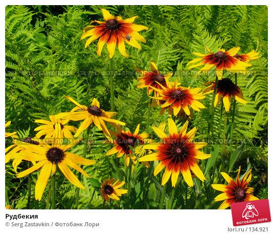 Купить «Рудбекия», фото № 134921, снято 14 июля 2005 г. (c) Serg Zastavkin / Фотобанк Лори