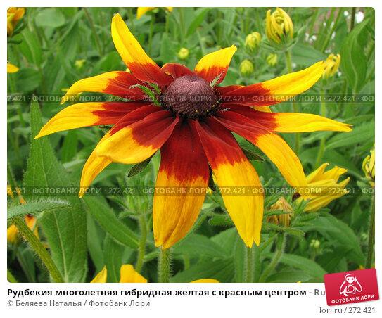 Рудбекия многолетняя гибридная желтая с красным центром - Rudbeckia x hibrida, фото № 272421, снято 11 августа 2007 г. (c) Беляева Наталья / Фотобанк Лори