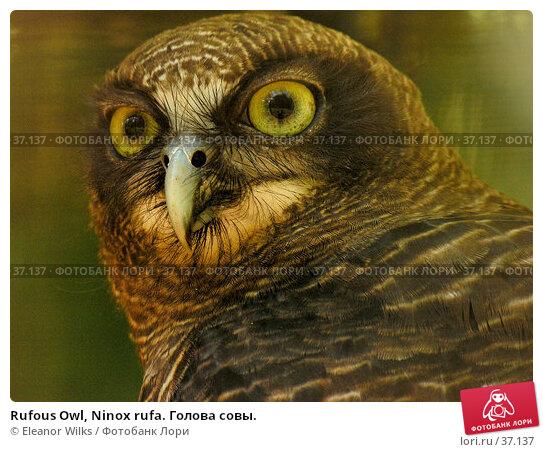 Rufous Owl, Ninox rufa. Голова совы., фото № 37137, снято 22 апреля 2007 г. (c) Eleanor Wilks / Фотобанк Лори
