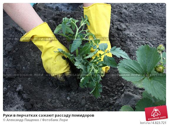 Руки в перчатках сажают рассаду помидоров. Стоковое фото, фотограф Александр Пащенко / Фотобанк Лори
