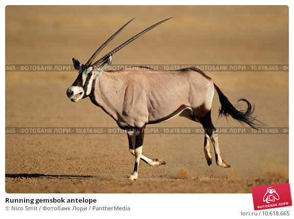 Running gemsbok antelope. Стоковое фото, фотограф Nico Smit / PantherMedia / Фотобанк Лори