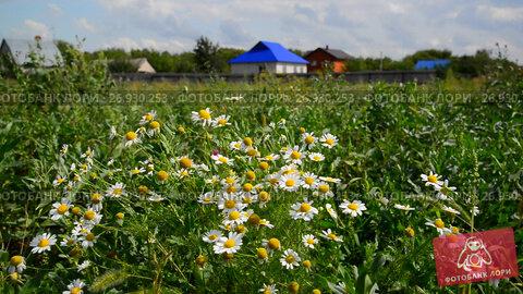 Купить «Rural landscape. Focus on daisies», видеоролик № 26930253, снято 24 августа 2017 г. (c) Володина Ольга / Фотобанк Лори