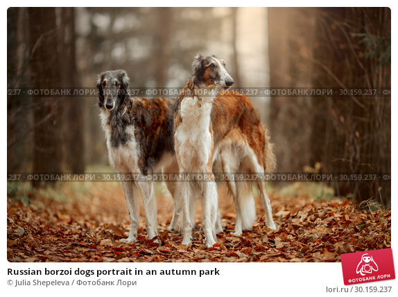 Купить «Russian borzoi dogs portrait in an autumn park», фото № 30159237, снято 20 октября 2018 г. (c) Julia Shepeleva / Фотобанк Лори