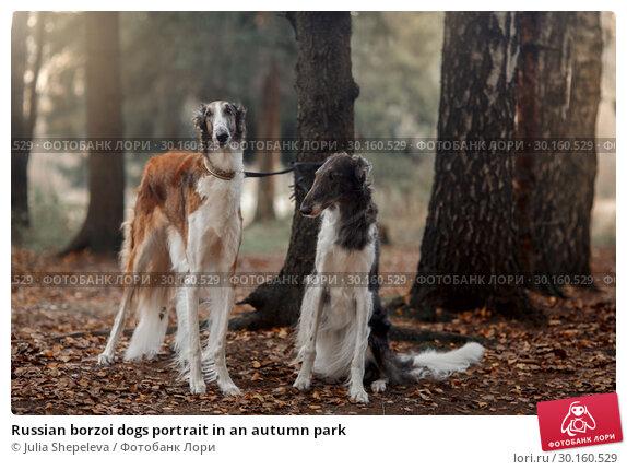 Купить «Russian borzoi dogs portrait in an autumn park», фото № 30160529, снято 23 октября 2016 г. (c) Julia Shepeleva / Фотобанк Лори