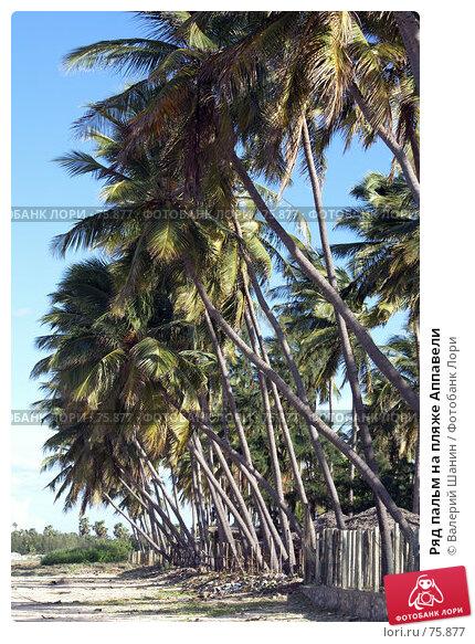 Ряд пальм на пляже Аппавели, фото № 75877, снято 30 мая 2007 г. (c) Валерий Шанин / Фотобанк Лори