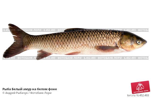 Купить «Рыба Белый амур на белом фоне», фото № 6452493, снято 28 сентября 2014 г. (c) Андрей Рыбачук / Фотобанк Лори