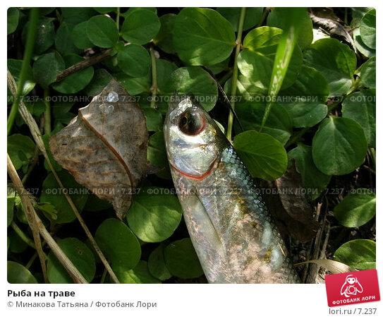 Рыба на траве, фото № 7237, снято 14 августа 2005 г. (c) Минакова Татьяна / Фотобанк Лори