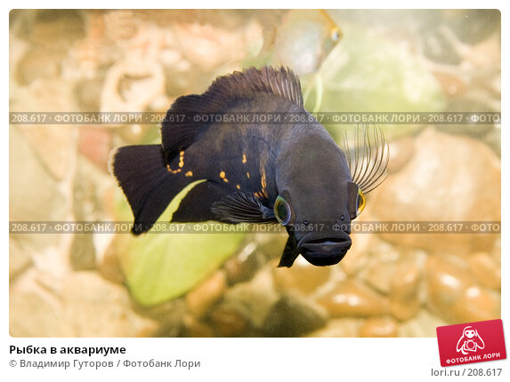 Рыбка в аквариуме, фото № 208617, снято 24 февраля 2008 г. (c) Владимир Гуторов / Фотобанк Лори