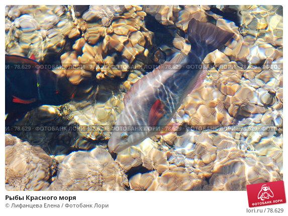 Рыбы Красного моря, фото № 78629, снято 22 августа 2007 г. (c) Лифанцева Елена / Фотобанк Лори