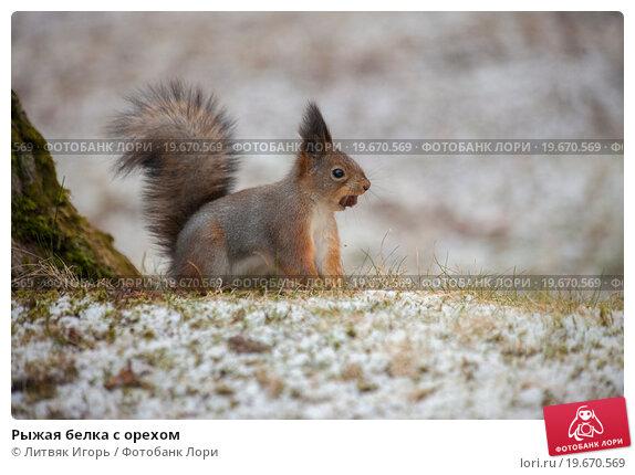 Купить «Рыжая белка с орехом», фото № 19670569, снято 30 декабря 2015 г. (c) Литвяк Игорь / Фотобанк Лори