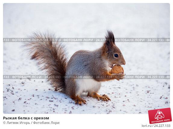 Купить «Рыжая белка с орехом», фото № 24227133, снято 6 ноября 2016 г. (c) Литвяк Игорь / Фотобанк Лори