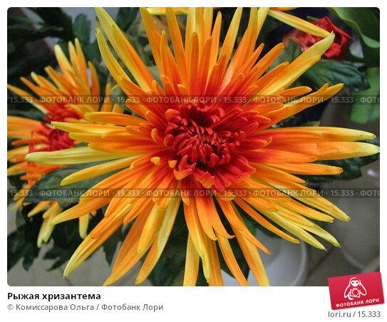Рыжая хризантема, фото № 15333, снято 11 декабря 2006 г. (c) Комиссарова Ольга / Фотобанк Лори