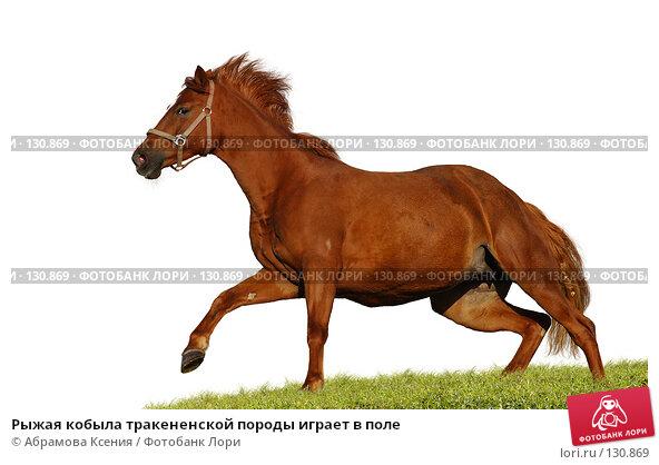 Рыжая кобыла тракененской породы играет в поле, фото № 130869, снято 29 сентября 2007 г. (c) Абрамова Ксения / Фотобанк Лори