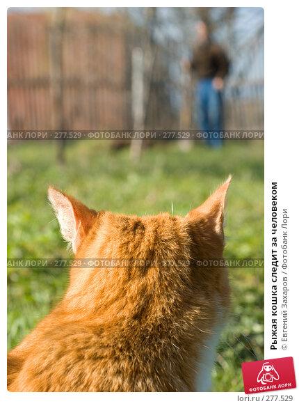 Рыжая кошка следит за человеком, фото № 277529, снято 25 апреля 2008 г. (c) Евгений Захаров / Фотобанк Лори
