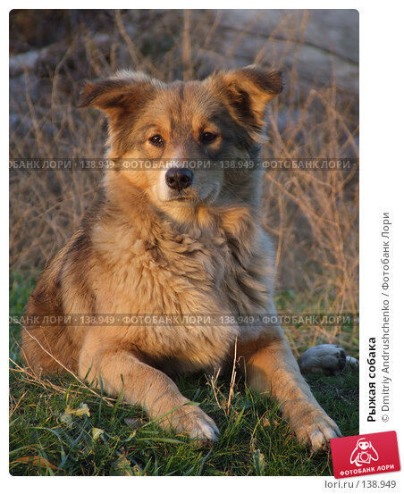 Рыжая собака, фото № 138949, снято 29 ноября 2007 г. (c) Dmitriy Andrushchenko / Фотобанк Лори