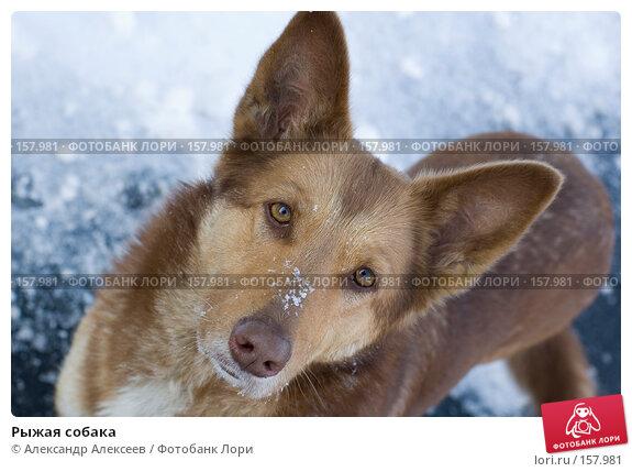 Рыжая собака, эксклюзивное фото № 157981, снято 10 марта 2006 г. (c) Александр Алексеев / Фотобанк Лори
