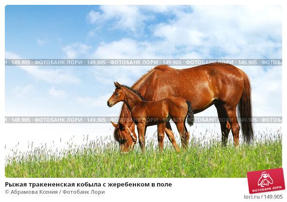 Рыжая тракененская кобыла с жеребенком в поле, фото № 149905, снято 2 июня 2007 г. (c) Абрамова Ксения / Фотобанк Лори