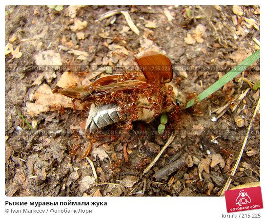 Купить «Рыжие муравьи поймали жука», фото № 215225, снято 20 мая 2007 г. (c) Ivan Markeev / Фотобанк Лори