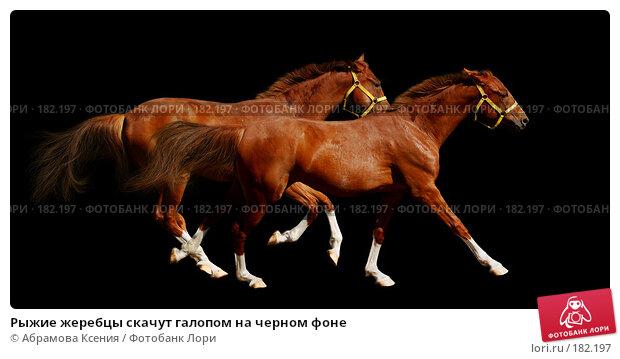 Рыжие жеребцы скачут галопом на черном фоне, фото № 182197, снято 4 августа 2007 г. (c) Абрамова Ксения / Фотобанк Лори