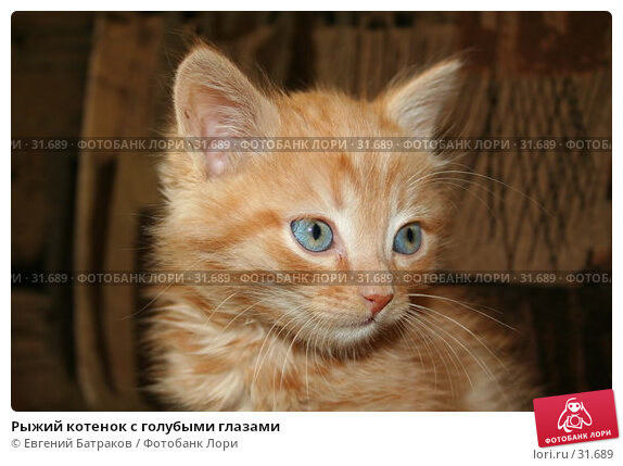 Рыжий котенок с голубыми глазами, фото № 31689, снято 30 июля 2006 г. (c) Евгений Батраков / Фотобанк Лори